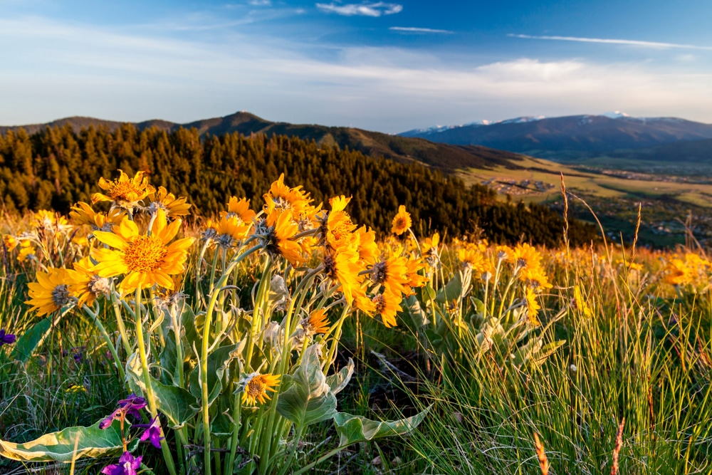 Balsam flowers and other great wildflowers on Missoula hikes this summer